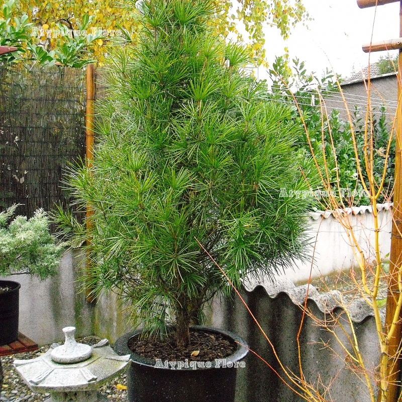 atypique flore conif res et plantes insolites. Black Bedroom Furniture Sets. Home Design Ideas